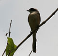 Long-tailed Shrike (Lanius schach) in Ananthagiri, AP W IMG 9286.jpg
