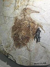 Longipteryx chaoyangensis - early cretaceous Liaoning IMG 5197 Beijing Museum of Natural History
