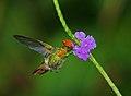 Lophornis ornatus -Asa Wright Nature Centre, Northern Range, Trinidad, Trinidad and Tobago-8 (1).jpg