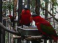 Lorius domicella -San Diego Zoo-6a.jpg