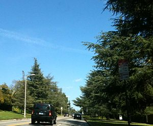 Los Feliz, Los Angeles - Los Feliz Boulevard, lined with Deodar trees