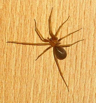 Chilean recluse spider - Image: Loxosceles.laeta