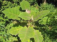 Lulo pflanze1