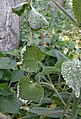 Lunaria annua with Albugo sp. 04 (leaves).jpg
