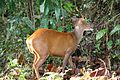 Lunch Time for a Barking Deer.jpg