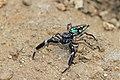 Lurio cf. solennis (Salticidae) (24197570931).jpg