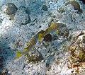 Lutjanus apodus (schoolmaster) (San Salvador Island, Bahamas) 4 (15994951670).jpg