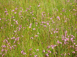 Flora of Ireland - Lowland meadow grasses with ragged robin (Lychnis flos-cuculi) and hawkweed (Hieracium)