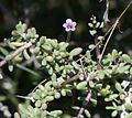 Lycium intricatum - Flickr - S. Rae.jpg