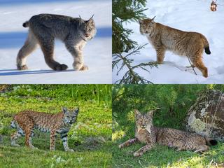 Lynx image
