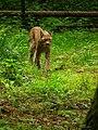 Lynx lynx Wildpark Alte Fasanerie Juni 2012 Klein-Auheim.JPG