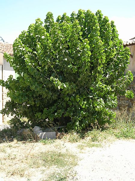 mature mulberry tree