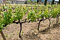 Müller-Thurgau - vines.jpg