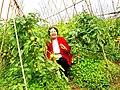 Một cánh đồng chuyên canh cà chua xuất khẩu tại thôn Lệ Thủy, xã Trác Văn.jpg
