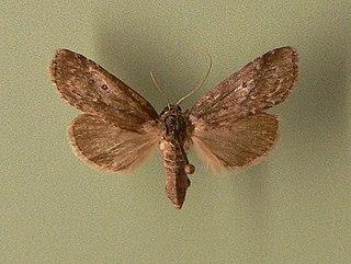 <i>Baileya</i> (moth) Genus of moths