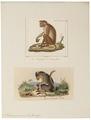 Macacus sinicus - 1700-1880 - Print - Iconographia Zoologica - Special Collections University of Amsterdam - UBA01 IZ20000023.tif