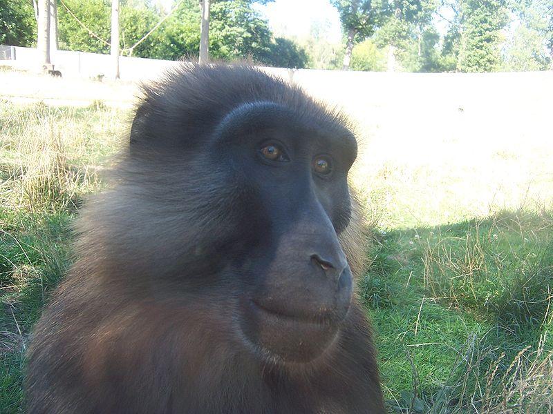 Tonkean macaque