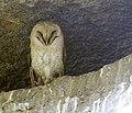 Madagascar Barn Owl3.JPG
