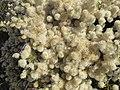 Magnoliophyta sp. (28172684159).jpg