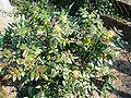 Mahonia aquifolium002.JPG