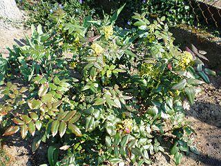 Mahónia cezmínolistá (lat. Mahonia aquifolium)