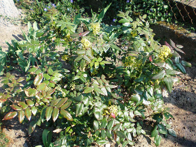 File:Mahonia aquifolium002.JPG
