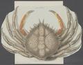Maja squinado - - Print - Iconographia Zoologica - Special Collections University of Amsterdam - UBAINV0274 095 06 0003.tif