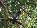 Malabar Pied Hornbill123.jpg