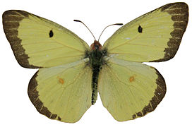 Male Clouded Sulphur Megan McCarty40.jpg