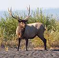 Male Elk (8045247200).jpg