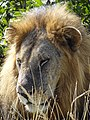 Male Lion - Mikumi National Park - Tanzania - 02 (8892803070).jpg