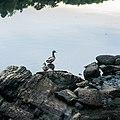 Mallard Ducks.jpg