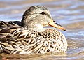 Mallard on Seedskadee National Wildlife Refuge (38691772770).jpg