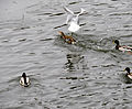 Mallards and gulls1.JPG