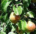 Maloideae pear Petersbirne 10 Juli 2003.jpg