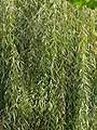 Malpighiales - Salix babylonica - 3.jpg