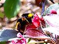 Malus x floribunda pollinator 03October2009 DehesaBoyalPuertollano.jpg