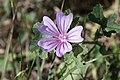 Malva sylvestris (Grande mauve) - 20150810 17h48 (11070).jpg