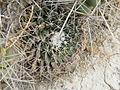 Mammillaria heyderi ssp. hemisphaerica (5670003230).jpg