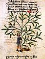 Man gathering tomentine, late 15th century Wellcome L0019172.jpg