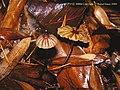 Marasmius purpureostriatus DRG2000CR.jpg