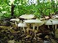 Marasmius wynneae Berk. & Broome 514394 2012-10-07.jpg
