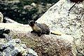 Marmota flaviventris001xxxx.jpg