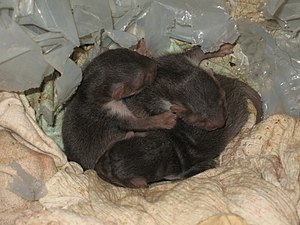 Beech marten - A litter of beech marten kits in а farm outbuilding in the village of Orlintzi, Bulgaria