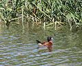 Masked Duck (Nomonyx dominicus) - Flickr - Lip Kee.jpg
