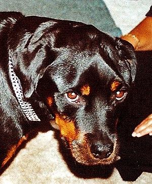 Masticatory muscle myositis - Chronic MMM in a Rottweiler