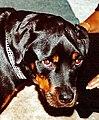 Masticatory Muscle Myositis dog.jpg