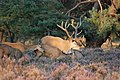 Mating season of the red deers at Hoge Veluwe, look the difference in tallness between male and the 4 females - panoramio.jpg