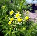 Matricaria chamomilla flower (31).jpg