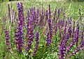 Meadow Clary. Sylvia pratensis - Flickr - gailhampshire (1).jpg